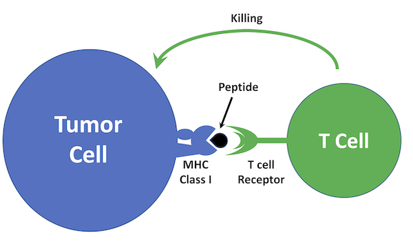 T cell Recognizing MHC